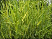 Тростник Австралийский Вариегатус (Phragmites australis Variegatus) (Прибрежные растения для пруда)