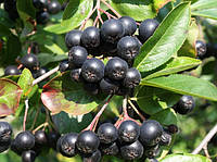 Арония (черноплодная рябина)Черноокая(саженец)