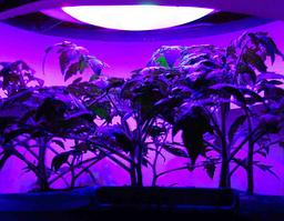 Влияние синего света на рост растений.