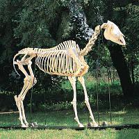 Модель скелета лошади (Equuscaballus)