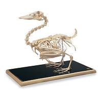Модель скелета утки (Anasplatyrhynchos)