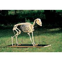 Модель скелета овцы (Ovis aries)