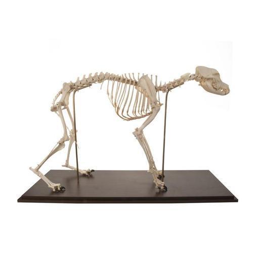 Препарат «Скелет собаки (Canis lupus familiaris)», размер M, гибко собранный