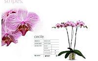 Подросток орхидеи Сесиль