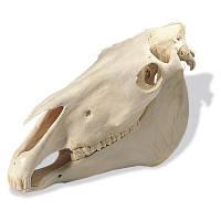 Модель черепа лошади (Equus caballus)