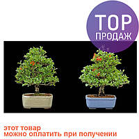 Бонсай Красивоплодник 10 семян
