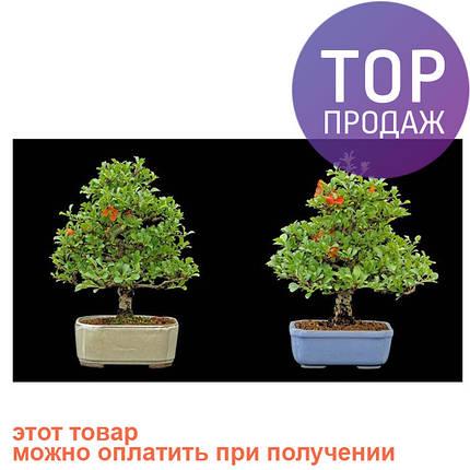 Бонсай Красивоплодник 10 семян, фото 2
