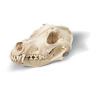 Модель черепа собаки (Canis domesticus)
