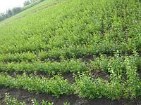 Высадка питомников семенами