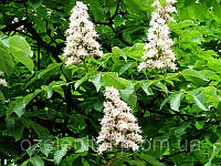 Каштан конский обыкновенный \ Aesculus hippocastanum \ Каштан кінський звичайний