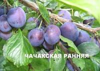Слива Чачакская Рання