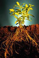 Корни лекарственных растений