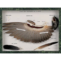 Модель крыла и перьев голубя (Columba palumbus)
