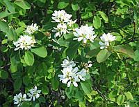 Ирга Цвет 50 грамм