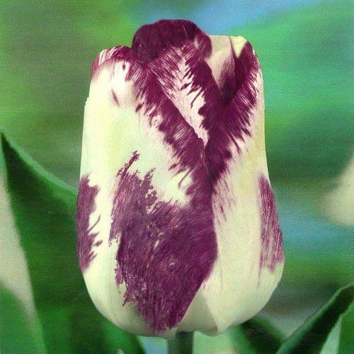 Луковичные растения Shirley Dream (триумф)