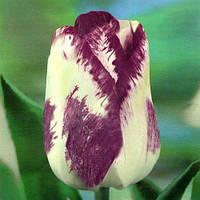 Луковичные растения Shirley Dream (триумф), фото 1