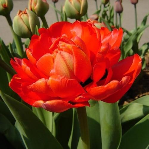 Цибулинні рослини Тюльпан Electra (махров)