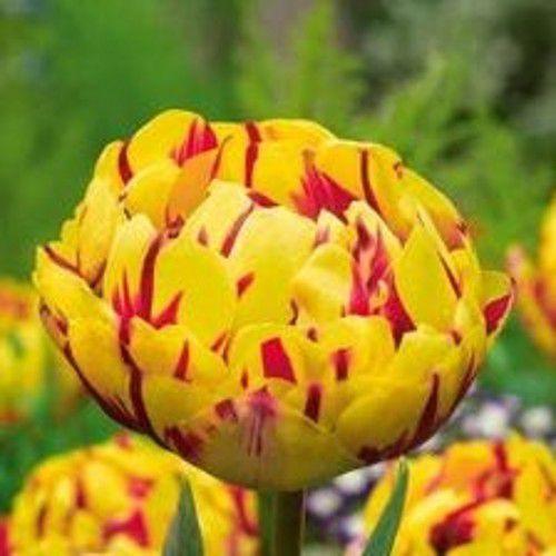 Луковичные растения Тюльпан Golden Nizza (махров)