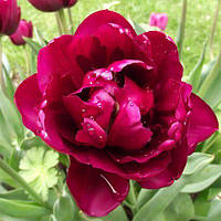 Луковичные растения Тюльпан Antraciet (махров)