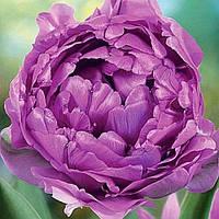 Луковичные растения Тюльпан Wow Blue (махров)