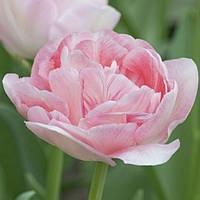 Луковичные растения Тюльпан Angeliquet (махров)
