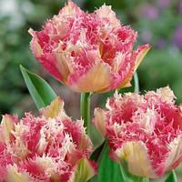Луковичные растения Тюльпан Cool Crystal   (махр+бахр)