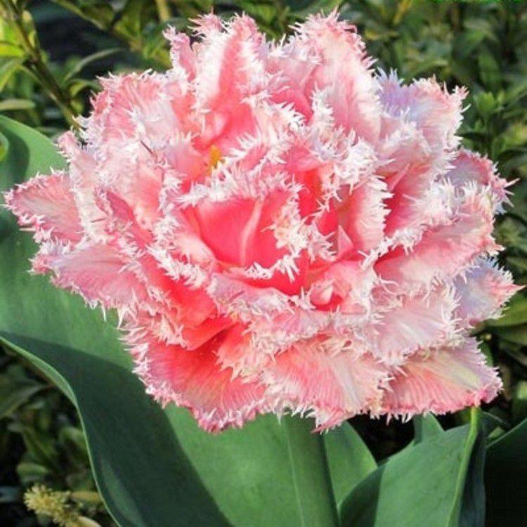 Цибулинні рослини Тюльпан Queesland (махр+бахр)