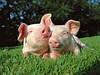 БВМД для свиней, Швейцария