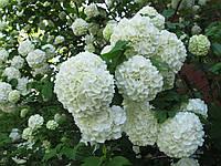 Цветы бульденеж 50 грамм
