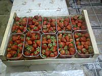 Ящики шпоновые деревяные для клубники малины сшитый на станке CORALLI в Гнивани