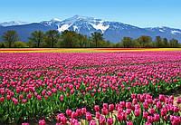 Фотообои бумажные на стену 366х254 см 8 листов:природа Цветы тюльпаны