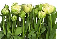 Фотообои бумажные на стену 368х254 см 8 листов: Тюльпаны бело-зеленые. Komar 8-900