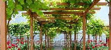 Виноградная пергола