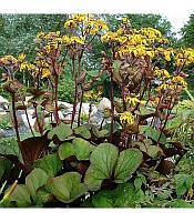 Ligularia dentata 'Desdemona' Бузульник зубчатий 'Дездемона',P9