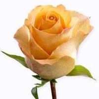 Роза чайно-гибридная Квинс Дей / Queens day