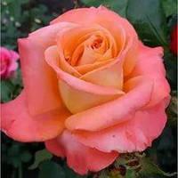 Роза чайно-гибридная Экзотик