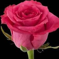 Роза чайно-гибридная Лейла