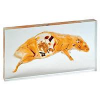 Модель пластинированного среза крысы