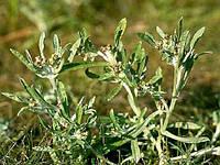 Сушеница болотная 50 грамм