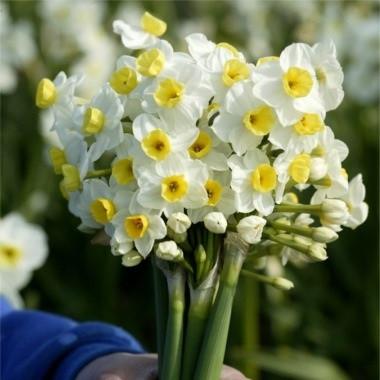 Луковичное растение Нарцисс мультицветковый Avalanche