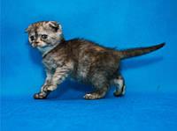 Котенок-кошечка Шотландская вислоухая