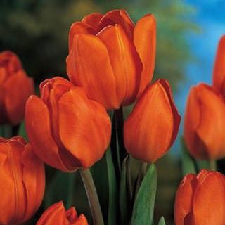 Цибулинні рослини Тюльпан Orange Bouguet (мультиф)
