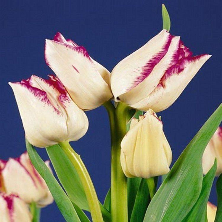 Луковичные растения Тюльпан Frisby (мультиф)