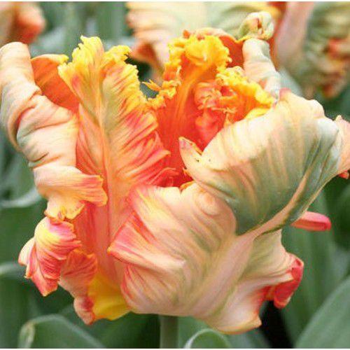 Луковичные растения Тюльпан Parrot King  (попуг)