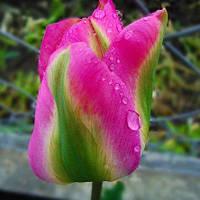 Луковичные растения Тюльпан Groenland  (зеленоцв)