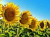 Выращивание подсолнечника: на что стоит обратить внимание