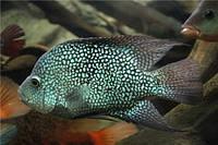 Цихлазома бриллиантовая (Herichthys cyanoguttatus), 3-3.5см
