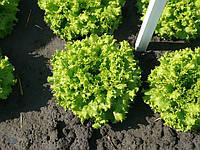 Насіння салату (латук) Фанлі f1