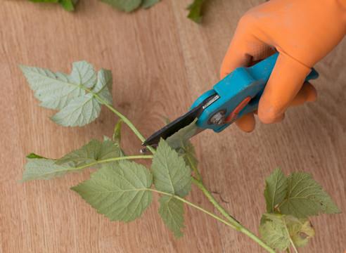 Размножение малины зелеными черенками и корневыми отростками