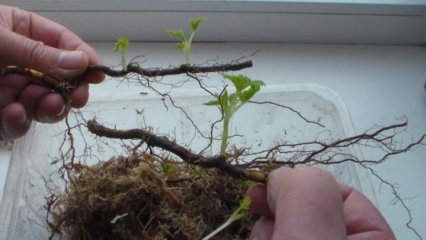 Размножение малины корневыми отростками